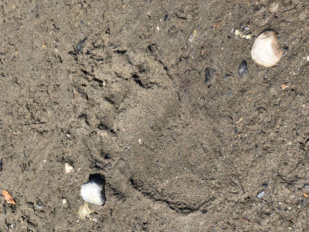 Picture of a bear's paw print in the sand
