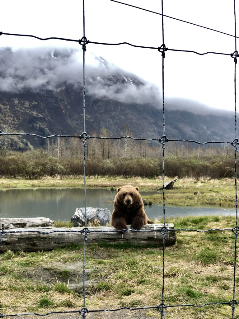 photo of a brown bear looking towards camera, leaning on a fallen tree. foggy mountains in background, wire fence in front of camera